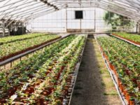 Rastlinjak ščiti tudi pred škodljivci na vrtu